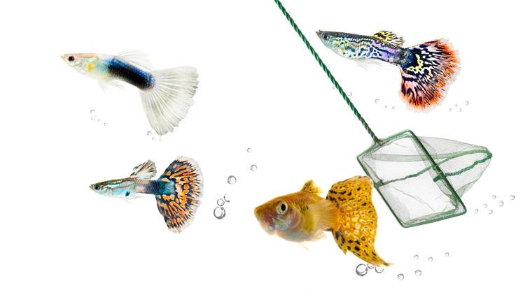 Aquarium Fish Netting Guppies