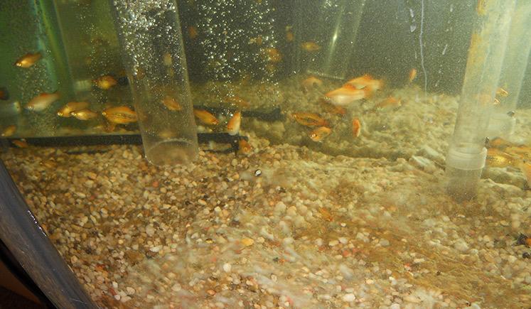 Cleaning Aquarium with Siphon Vacuum