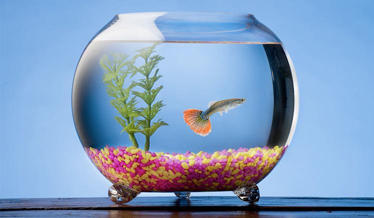 Keeping Guppies in a Glass Fish Bowl - Guppy Aquarium