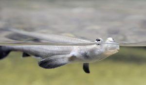 Four Eyed Fish