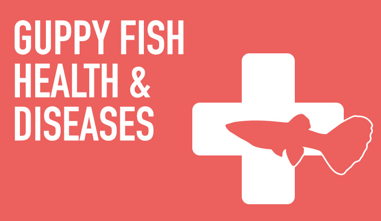 Guppy Fish Health & Diseases