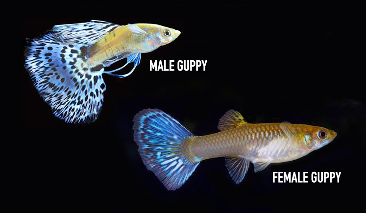 Sexing Guppies: Male or Female