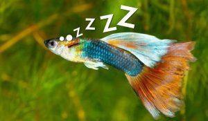 Guppy Sleeping