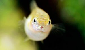 Juvenile Guppy Fish