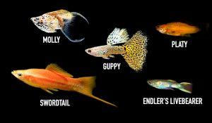Livebearer Fishes