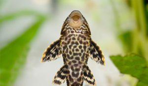Pleco Catfish Plecostumus
