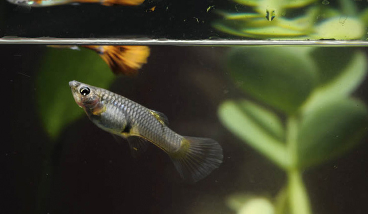 Pregnant Guppy in Labor