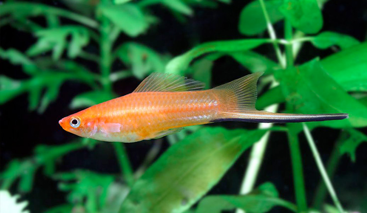 Swordtails Fish